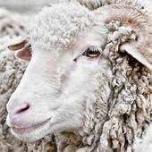 Pourquoi choisir un bonnet en laine mérinos ? 🐑 La laine mérinos provient du mouton mérinos, c'est une matière naturelle, durable et renouvelable 🌱 Elle est à la fois très isolante et régulatrice de température : même mouillée, elle garde la chaleur. Au microscope cette fibre textile est trois fois plus fine que celle qui constitue la laine traditionnelle, c'est pourquoi cette fibre ultra-fine ne pique pas. ➡ De nombreux avantages qui nous pousse à utiliser cette matière dans plus en plus de nos produits.  #bonnet #laine #merinos #ledrapo #madeinfrance